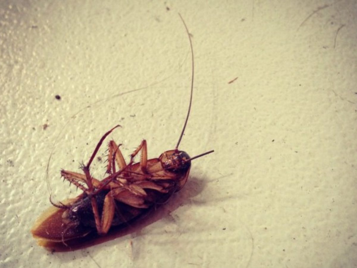 Los 5 Mejores Trucos Para Matar Cucarachas